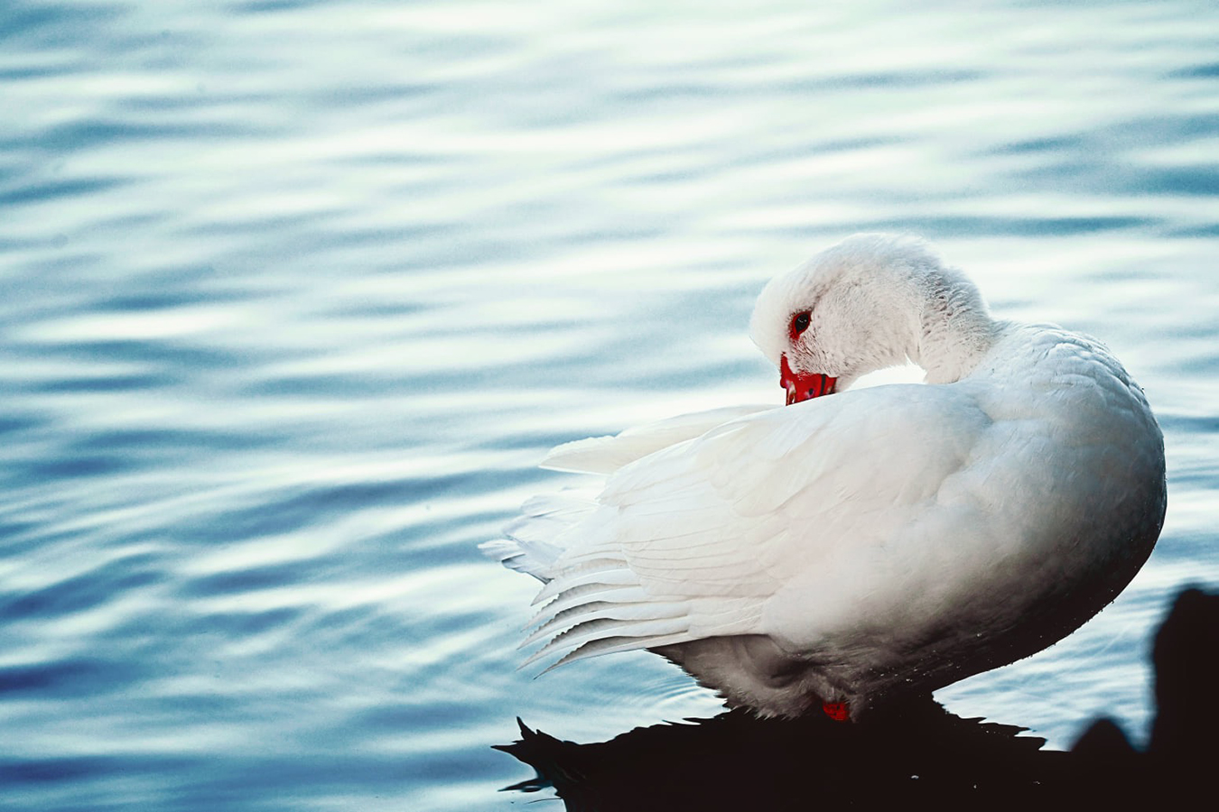 White duck on a pond